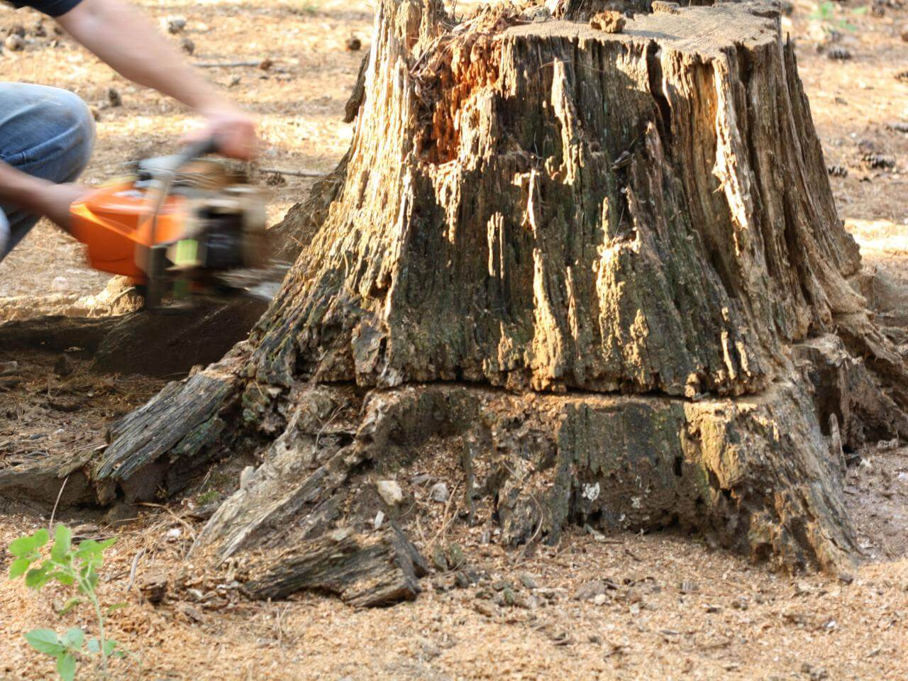 Stump Removal-Greensboro Tree Trimming and Stump Grinding Services-We Offer Tree Trimming Services, Tree Removal, Tree Pruning, Tree Cutting, Residential and Commercial Tree Trimming Services, Storm Damage, Emergency Tree Removal, Land Clearing, Tree Companies, Tree Care Service, Stump Grinding, and we're the Best Tree Trimming Company Near You Guaranteed!